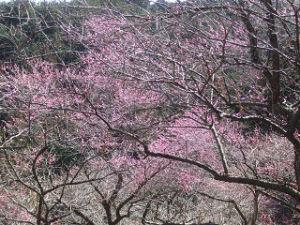 梅の公園 咲いているところ