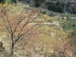 桜とろうばいと茶畑