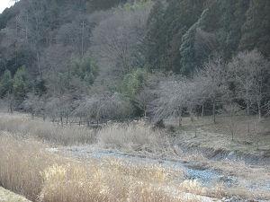 中津川対岸のしだれ桜