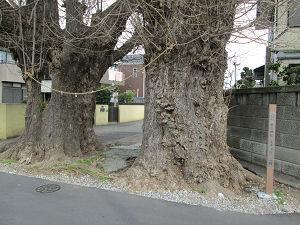 愛宕神社のイチョウ二樹