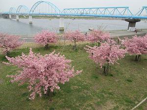江戸川河川敷の桜