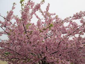 江戸川の桜