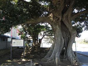 御成街道の椎の木