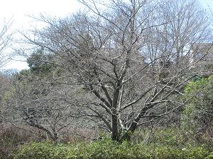 加曽利の桜はまだ早い