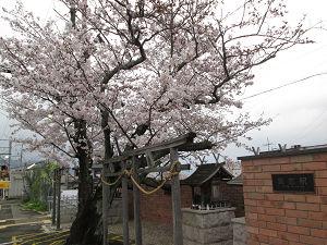 貴志駅の桜
