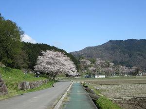 安土城址の桜