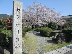 セミナリヨ跡の桜