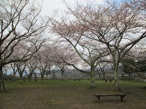 彦根城西の丸の桜