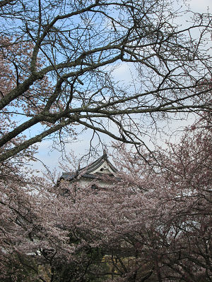 彦根城の桜