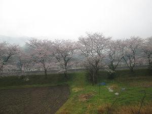 宮川沿線の桜