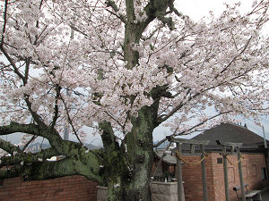 貴志駅ホームの桜