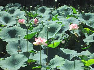 八大龍王池のハス