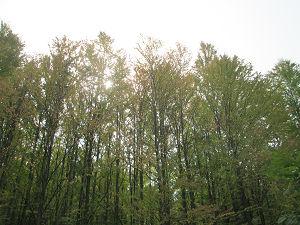 カツラの林