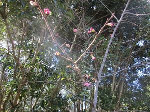 ふくらみかけの桜のつぼみ