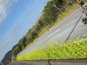 道路脇の菜の花