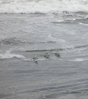 波打ち際の千鳥かシギ