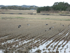 夷隅川河口付近の田に集う雁
