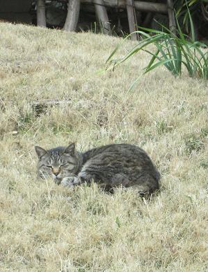 法華経寺の猫