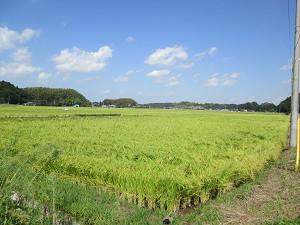 刈り入れを待つ稲田