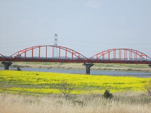 利根川河川敷の菜の花