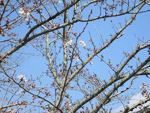 下総運動公園の桜