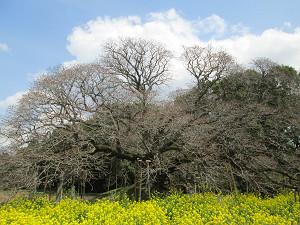 吉高の大桜はまだつぼみ