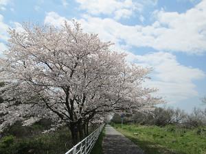 印旛沼自転車道の桜並木