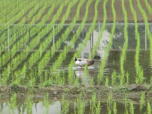 田んぼの鴨