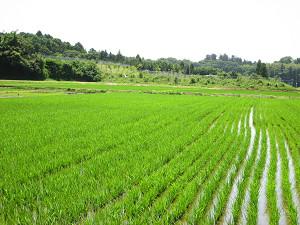 稲は伸び盛り