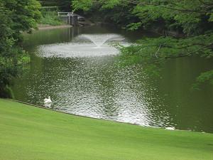 池を泳ぐ白鳥