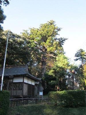 飯積の大杉
