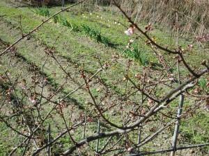 ほころびかける桜