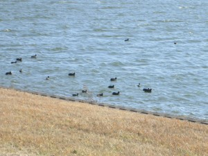 水面には鴨類がいっぱい