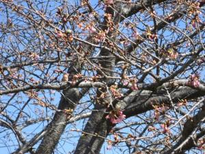 ほころび始める桜