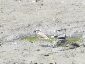 川縁の小鳥