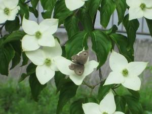 ハナミズキと蝶