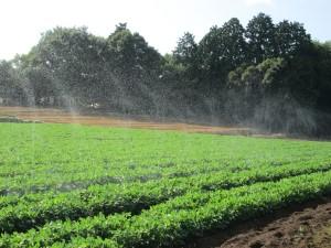 落花生畑の散水