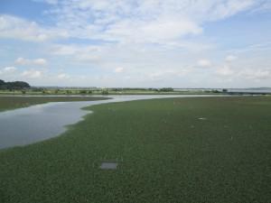藻に覆われた印旛沼