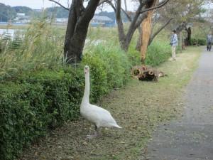 遊歩道にも白鳥