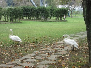 公園を散歩する白鳥