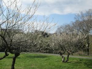 花見川の梅