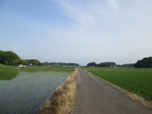 稲は急速に成長中