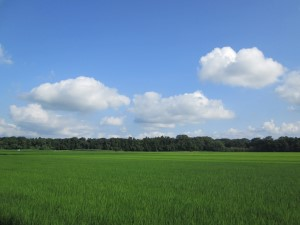 湖北の稲田
