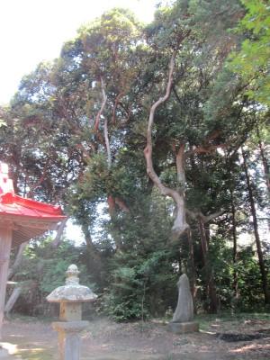 香取神社のスダジイ