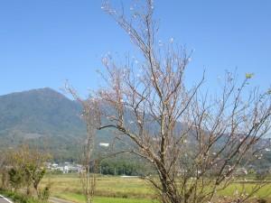 狂い咲きの桜と筑波山