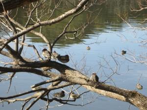 坂田ヶ池の鴨