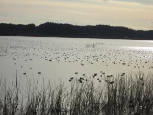 湖面を埋め尽くす鴨