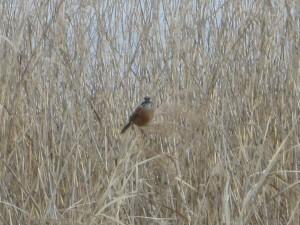 葦の先に停まる野鳥