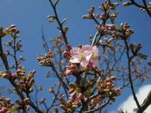 咲き始める桜
