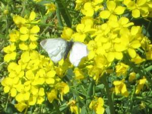 菜の花に蝶